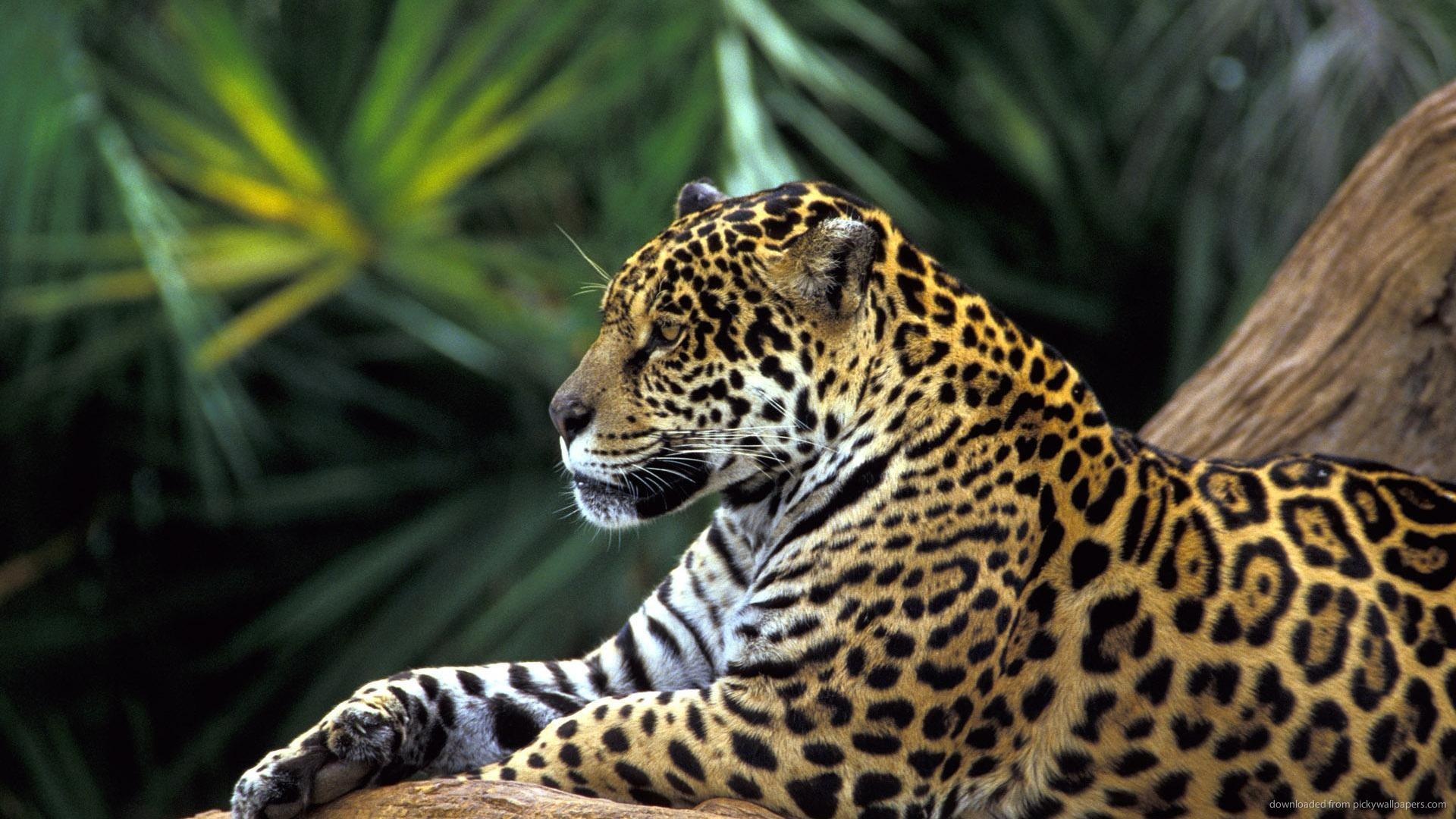 amazon-rainforest-jaguar-brazil-tours-brazilecotour