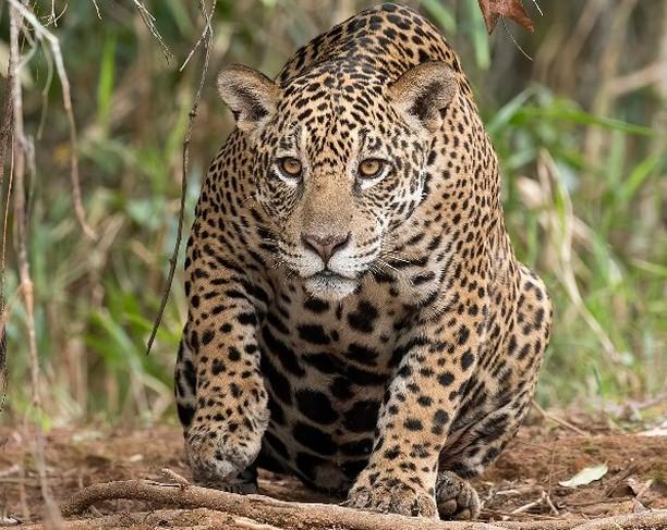 Jaguar Pantanal Brazil ДИКИЙ ОПЫТ