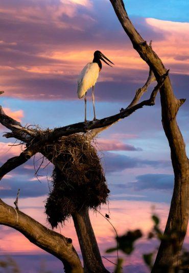 observation d'oiseaux pantanal birdwatching